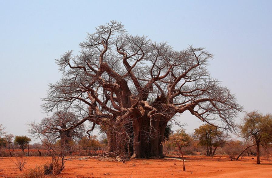boabab-tree-zimbabwe.png