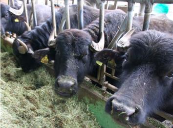 buffalos Riedenholzhof.png