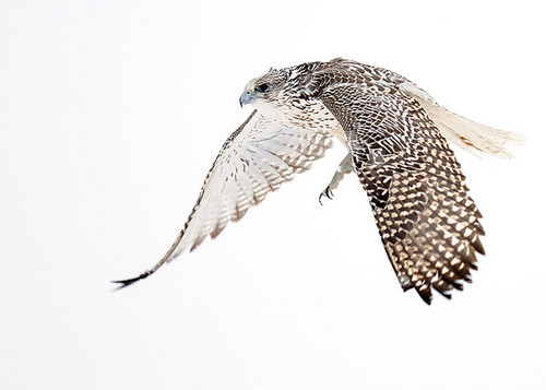 Falcon Bird Flying Drawing