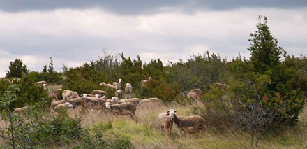 sheep-in-Causses-et-Cevennes