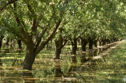 almond-trees-water-irrigation
